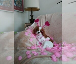 Mother of the Cavalier King Charles Spaniel puppies born on 05/01/2020