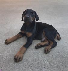 Doberman Pinscher Puppy For Sale in REKLAW, TX, USA