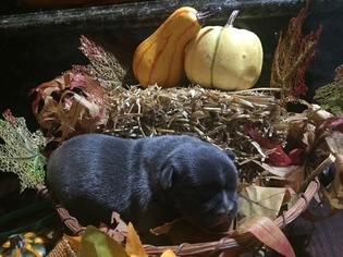French Bulldog Puppy for sale in STERLING HEIGHTS, MI, USA