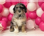 Puppy 7 Aussiedoodle Miniature