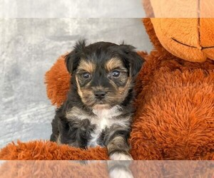 Morkie Puppy for sale in AMITY, NC, USA