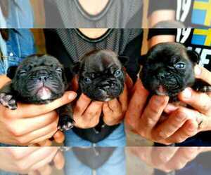 French Bulldog Puppy for sale in Riga, Riga, Latvia