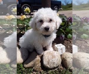 Bichon Frise Puppy for Sale in SCOTTVILLE, Michigan USA