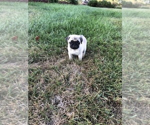 Pug Puppy for sale in WALTON, KY, USA