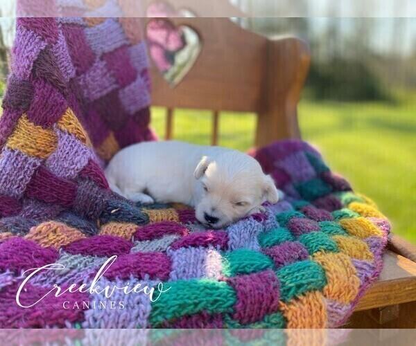 Medium Photo #2 Maltipoo Puppy For Sale in NIANGUA, MO, USA
