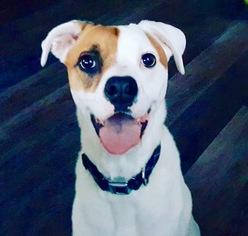 Charger - Labrador Retriever / Boxer / Mixed (short coat) Dog For Adoption