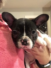 French Bulldog Puppy For Sale in CROTHERSVILLE, IN, USA