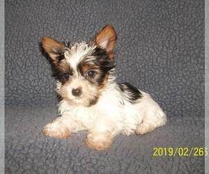 Biewer Terrier Dog for Adoption in HILLSBORO, Oregon USA