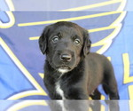 Small Photo #3 Double Doodle Puppy For Sale in FREDERICKTOWN, MO, USA