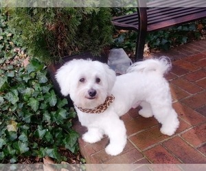 Father of the Bichon Frise puppies born on 02/03/2021