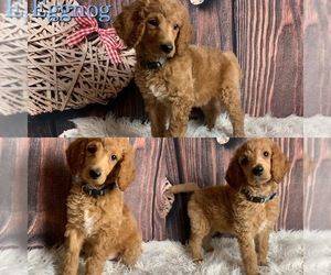 Poodle (Standard) Puppy for sale in SWANSBORO, NC, USA