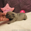 French Bulldog Puppy For Sale in DRAIN, Oregon,