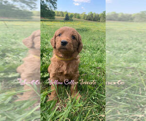 Goldendoodle Puppy for Sale in LOWNDESVILLE, South Carolina USA