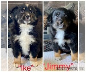 Miniature American Shepherd Puppy for Sale in PRESTON, Idaho USA