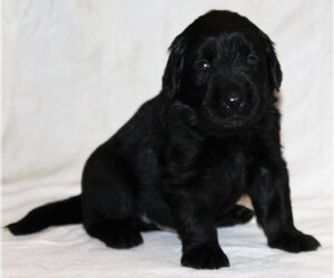Golden Newfie Dog for Adoption in HOLLYWOOD, Maryland USA