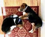 Small #32 Beagle Mix