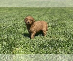 Goldendoodle Puppy for Sale in HESPERIA, California USA