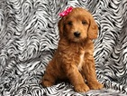 Double Doodle Puppy For Sale in EAST EARL, PA, USA