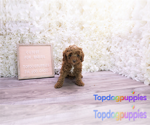 Maltipoo Dog for Adoption in FULLERTON, California USA