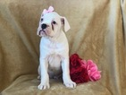 Boxer Puppy For Sale in CEDAR LANE, PA, USA