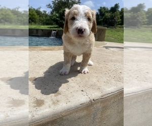 Double Doodle Puppy for sale in BOERNE, TX, USA