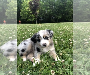 Miniature Australian Shepherd Puppy for Sale in CONGERVILLE, Illinois USA