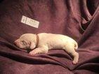 Dalmatian Puppy For Sale in GARBER, Oklahoma,
