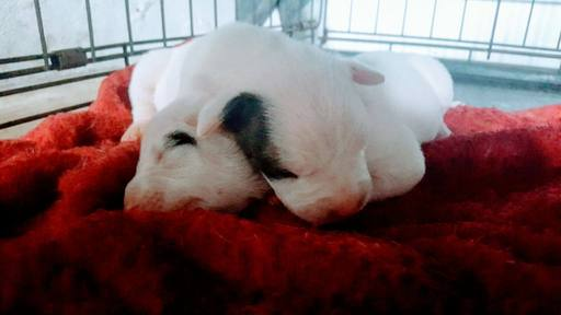 View Ad Dogo Argentino Litter Of Puppies For Sale Near Florida Davenport Usa Adn 35018