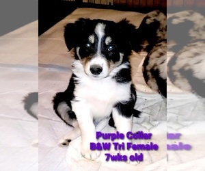 Border Collie Puppy for sale in ELMENDORF, TX, USA