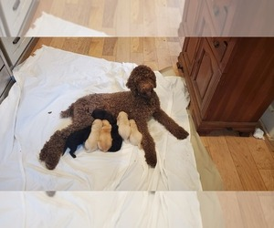 Mother of the Goldendoodle puppies born on 09/10/2020