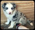 Border Collie Puppy For Sale in WHITE SALMON, Washington,