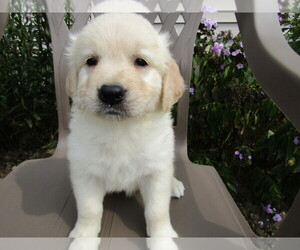 Golden Retriever Puppy for sale in OTTAWA HILLS, OH, USA