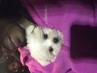 Maltichon-Shih Apso Mix Puppy For Sale in GRAND FORKS AFB, ND, USA