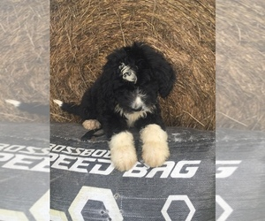 Bernedoodle Puppy for sale in CHETEK, WI, USA