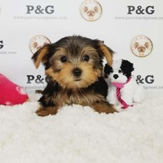 Yorkshire Terrier Puppy for sale in TEMPLE CITY, CA, USA