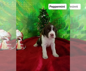 English Springer Spaniel Puppy for Sale in NEWVILLE, Pennsylvania USA