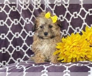 Bichon Frise-ShihPoo Mix Puppy for sale in LAKELAND, FL, USA