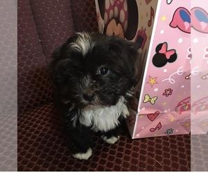 Havanese Puppy for sale in LIVONIA, MI, USA