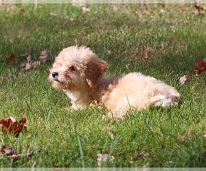 Poodle (Toy) Puppy for Sale in WOODSTOCK, Connecticut USA