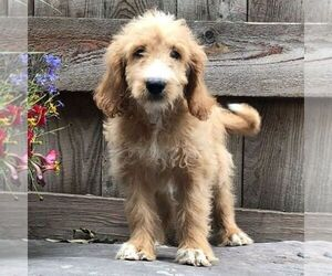 Goldendoodle-Poodle (Miniature) Mix Puppy for sale in DRY RUN, PA, USA