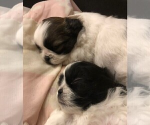Shih Tzu Puppy for sale in CORVALLIS, OR, USA