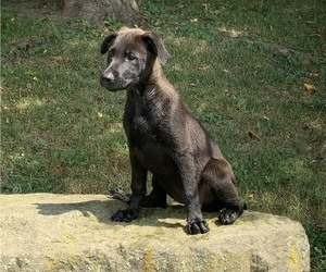 German Shepherd Dog-Labrador Retriever Mix Puppy for sale in QUAKER CITY, OH, USA
