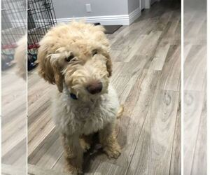 Goldendoodle Puppy for sale in SANTA CLARITA, CA, USA