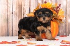 Dexter Appealing Male Yorkie Puppy