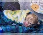 Small #4 Bullhuahua-Chihuahua Mix