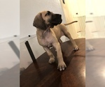 Great Dane Puppy For Sale in SURPRISE, AZ, USA