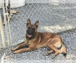 Small Photo #4 Belgian Malinois Puppy For Sale in VACAVILLE, CA, USA