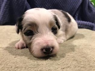 Australian Shepherd Puppy For Sale in LOUISVILLE, KY, USA