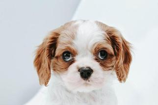 Cavalier King Charles Spaniel Puppy For Sale in SUGARCREEK, OH, USA