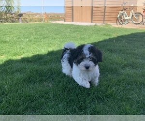 Havanese Puppy for sale in WICKENBURG, AZ, USA